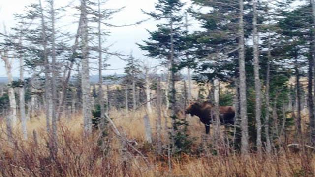 Quebec says moose preservation plan is on the agenda after urgent appeal by Algonquin Nation - APTN News