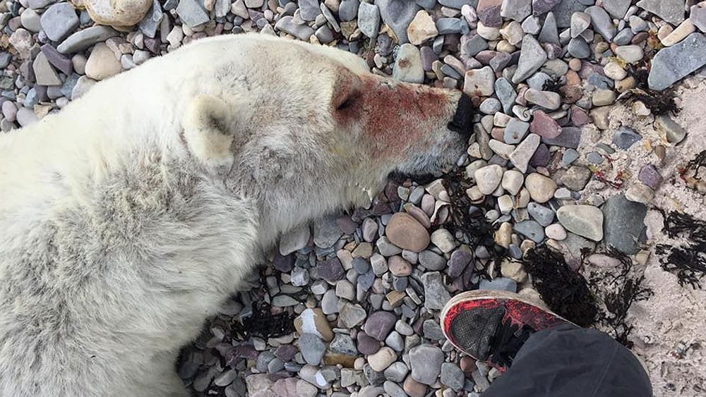 Blood on nose of polar bear that will shot dead by a camper in Arctic Bay, Nu.