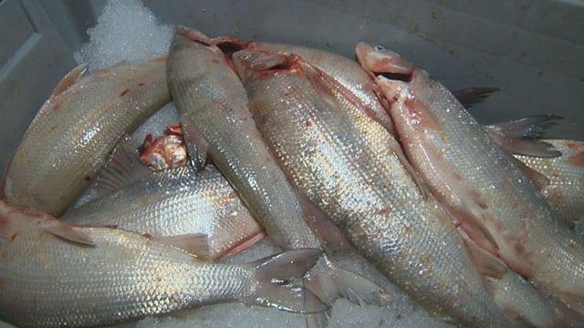 File photo of fish (APTN)