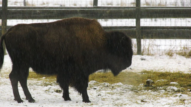 Bison reintroduced to Woodland Cree First Nation in Alberta - APTN News